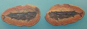 Fossil von Australosomus merlei