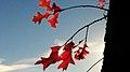 Autumn Red 1 (183330321).jpeg