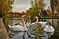 Autumn With Swans (182355665).jpeg