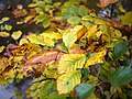 Autumnal leaves by the Minnowburn - geograph.org.uk - 1550778.jpg