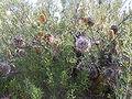 B telmatiaea 17 gnangarra.jpg