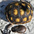 Baby Gopher Tortoise (Gopherus polyphemus) (7981065040).jpg