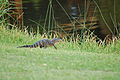 Baby alligator (Kiawah Island Resort, South Carolina - August 27 2008).jpg