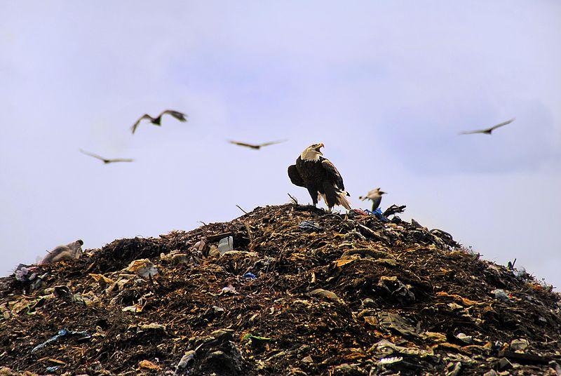 File:Bald Eagle at Tomoka Landfill - Flickr - Andrea Westmoreland.jpg
