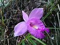 Bamboo Ground Orchid.jpg