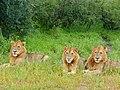 Band of Brothers (Panthera leo) (12679584975).jpg