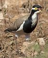 Banded Lapwing 1 (7856965700).jpg