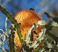 Banksia Prionotes flower with bee.jpg