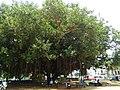Banyans near Savandurga 4.jpg