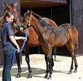 Baralinka & Kyllachy colt foal (6205014659).jpg