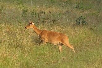 Barasingha - Female