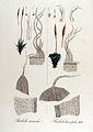 Barbula laeviphila — Flora Batava — Volume v12.jpg