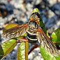 Barred Bee Fly (Exoprosopa fasciata) (6175851321).jpg