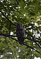 Barred owl (20518713682).jpg