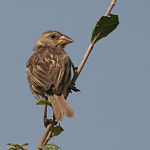 Baya Weaver (Ploceus philippinus) in Hyderabad, AP W IMG 1393.jpg