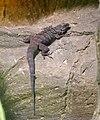 Beaded Lizard (Heloderma horridum exasperatum) (CWPG).jpg