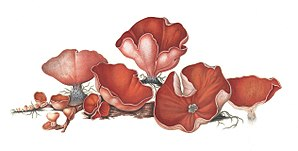 Johan Theodor Holmskjold - Image: Beata Ruris Otia Fungis Danicis Impensa 5
