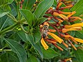 Bee and orange flower 2.jpg