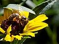 Bee on Heliopsis 3.jpg