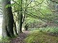 Beech Trees in Barhill Wood - geograph.org.uk - 221787.jpg