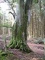 Beech bole in wood by Cowie Water - geograph.org.uk - 1377231.jpg