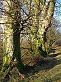Beeches near the Tavy - geograph.org.uk - 298135.jpg