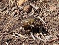 Beefly, Bombyliidae (32289853373).jpg