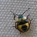 Beetle (215044696).jpg