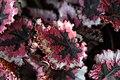 Begonia (6).jpg