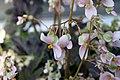 Begonia Hocking Shockwave 0zz.jpg
