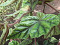 Begonia metallica-leaf-yercaud-salem-India.JPG