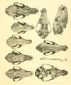 Beitrag zur Kenntnis der nordafrikanischen Schakale nebst Bemerkungen über deren verhältnis zu den haushunden, insbesondere uordafranischen und altägyptischen Hunderassen (1908) Tafel 1.png
