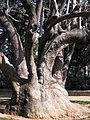 Bellaombra de Can Vidalet - arbre d'interès local 203-0312 IMG.jpg