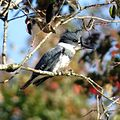 Belted Kingfisher (male) (16187084679).jpg