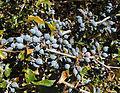 Berberis chilensis, fruit (8625237716).jpg