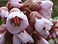 Bergenia purpurascens (Saxifragaceae) flower.jpg
