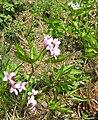 Berne botanic garden Cardamine pentaphyllos.jpg