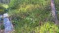 Betula nana in Ostrobothnia.jpg