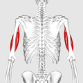 Biceps brachii muscle05.png