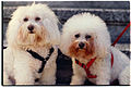 Bichon Frise and Poodle breed dogs.jpg