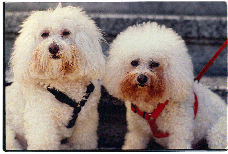 File:Bichon Frise and Poodle breed dogs.jpg