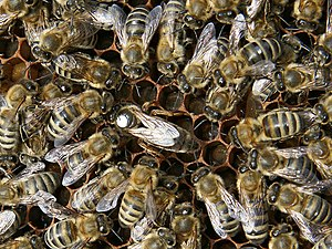 Marked queen bee with attendants