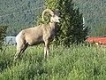 Big Horn Sheep in Radium Hot Springs Township - panoramio.jpg