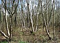 Birch coppice, Meare Heath - geograph.org.uk - 1248717.jpg