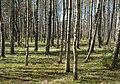 Birch forest Gullmarsskogen 3.jpg