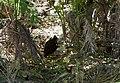 Bird in undergrowth - Flickr - brewbooks.jpg