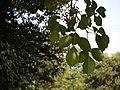 Bischofia javanica (8880907047).jpg