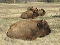 Bison Shelby Farms Park Memphis TN 001.jpg