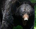 Black-bear-mouth-wildlife 41 - West Virginia - ForestWander.jpg