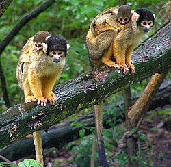 Black-capped Squirrel Monkeys in tree.JPG